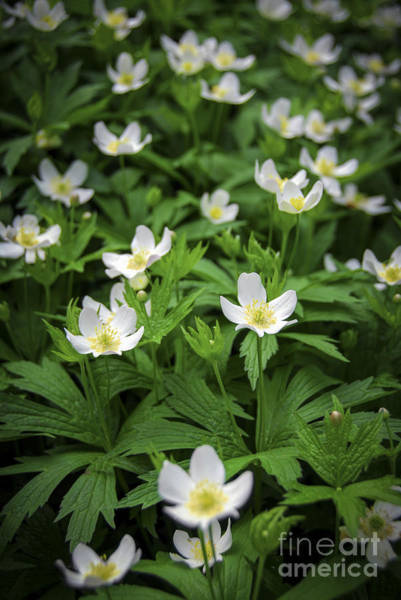 Wall Art - Photograph - Wood Anemones by Elena Elisseeva