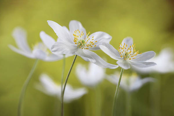 Wildflowers Photograph - Wood Anemones by Mandy Disher