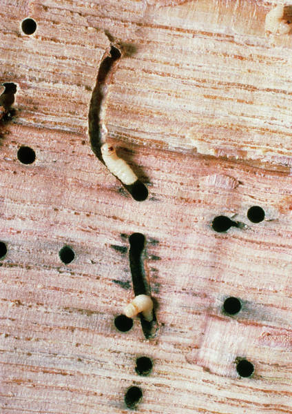 Larva Wall Art - Photograph - Wood Beetle Larvae by Dr Jeremy Burgess/science Photo Library