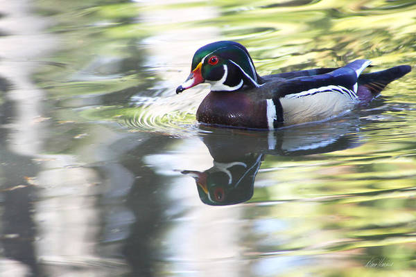 Photograph - Wood Duck by Diana Haronis