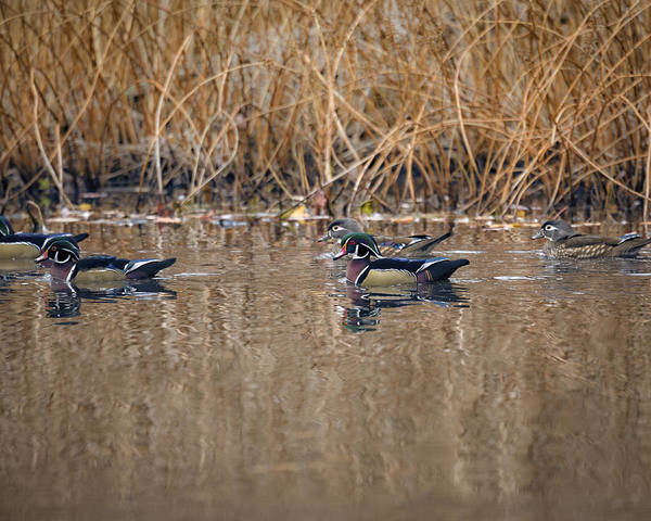 Photograph - Wood Duck Group by Jack R Perry