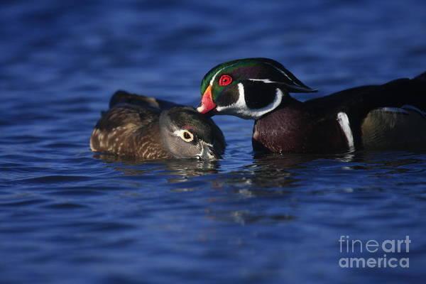 Photograph - Wood Duck Love by John F Tsumas