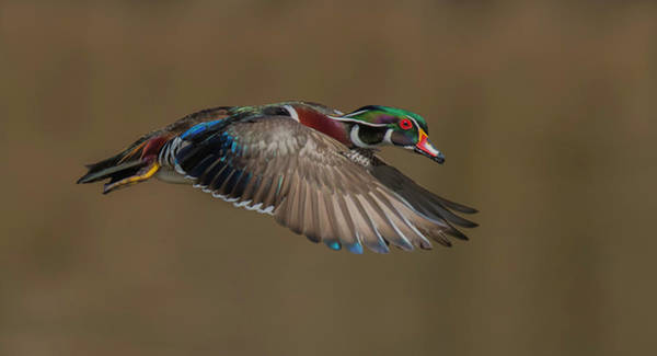 Ducks Photograph - Wood Duck-male In-flight by Salman A