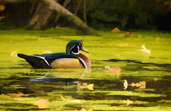 Photograph - Wood Duck On Pond    by William Jobes