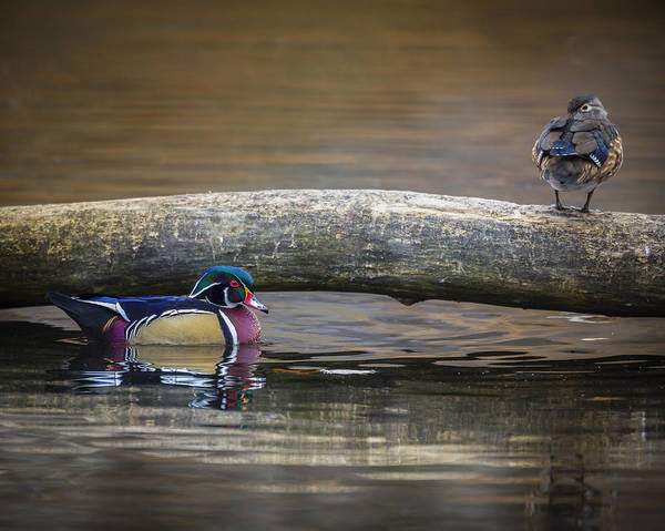 Photograph - Wood Duck Pair by Jack R Perry