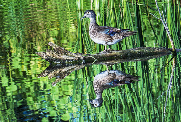 Photograph - Wood Duck Reflection by Edward Peterson