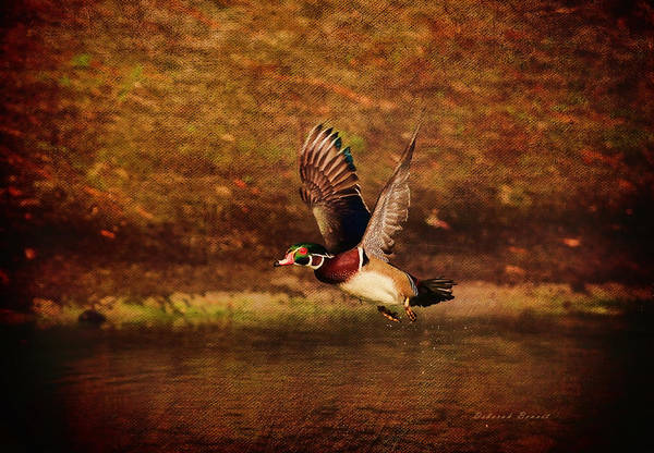 Photograph - Wood Duck Taking Off by Deborah Benoit