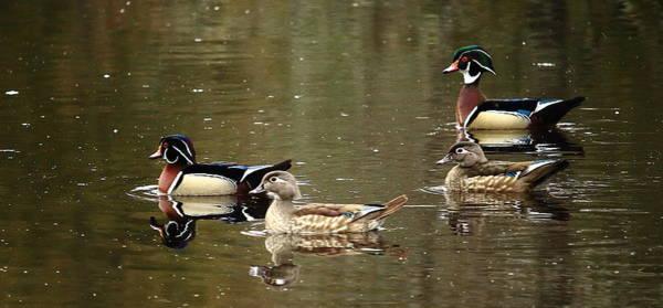 Photograph - Wood Ducks by Dale Kauzlaric