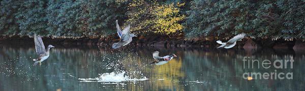 Photograph - Wood Ducks Taking Off In Flight by Dan Friend
