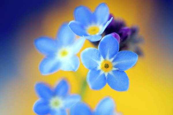 Forget Me Not Photograph - Wood Forget-me-not (mysotis Sylvatica) by Alex Hyde
