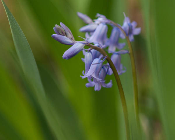 Photograph - Wood Hyacinth by Lara Ellis