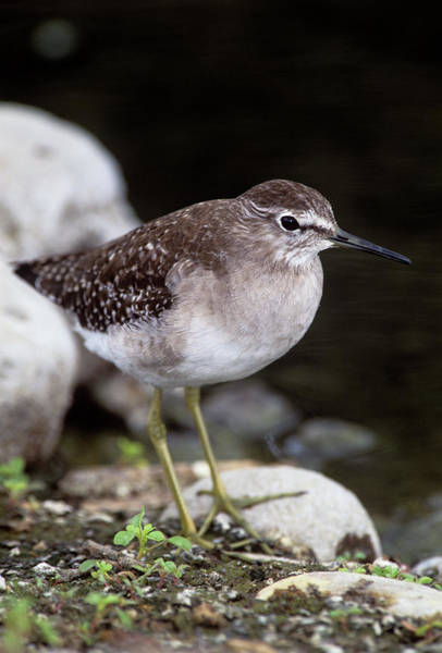 Sandpiper Photograph - Wood Sandpiper by Tony Camacho/science Photo Library