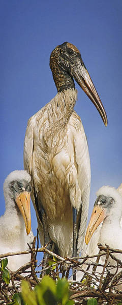 Photograph - Wood Stork Family by Patrick M Lynch