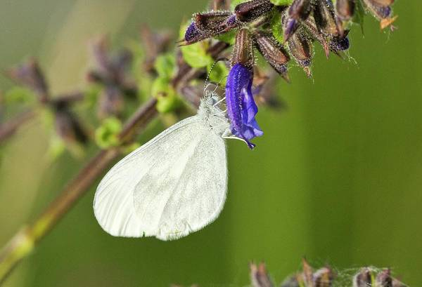 Purple Sage Photograph - Wood White Butterfly On Clary Flower by Bob Gibbons
