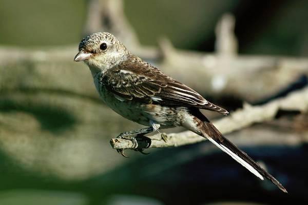 Israeli Photograph - Woodchat Shrike by Photostock-israel/science Photo Library