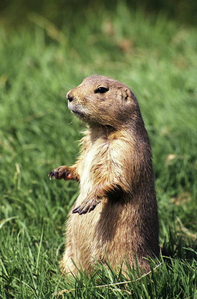 Marmot Photograph - Woodchuck by Tony Craddock/science Photo Library