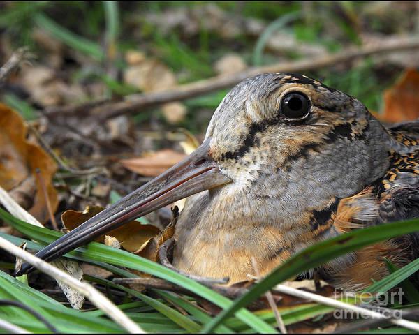 Woodcock Photograph - Woodcock Beak Close Up by Timothy Flanigan