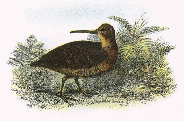 Woodcock Photograph - Woodcock by English School