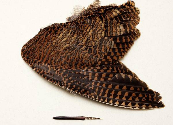Woodcock Photograph - Woodcock Pin-feather by Sheila Terry/science Photo Library