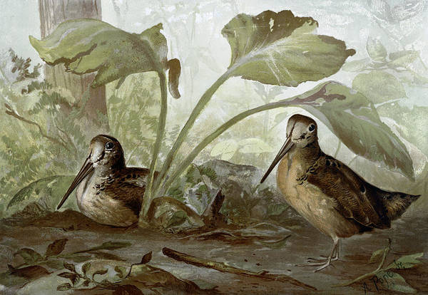 Wall Art - Painting - Woodcocks, C1878 by Granger