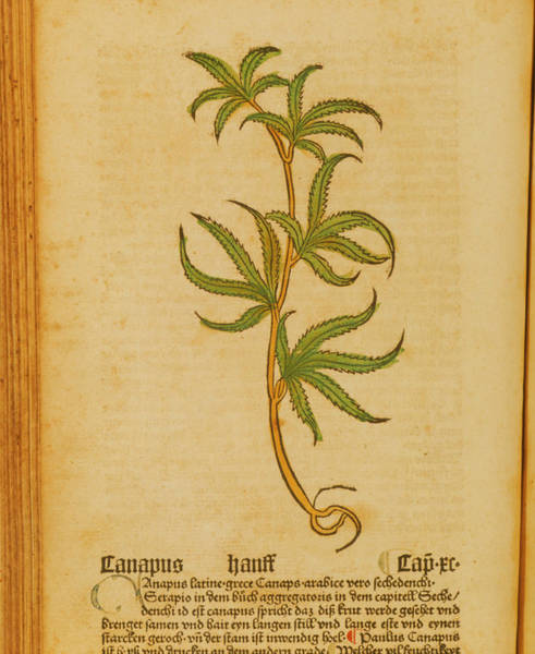 Woodcut Wall Art - Photograph - Woodcut Illustration Of Cannabis Sativa by National Library Of Medicine/science Photo Library