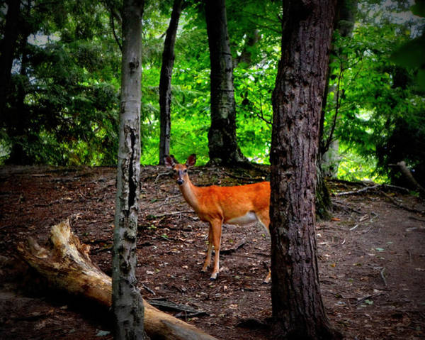 Photograph - Woodland Deer by Michelle Calkins
