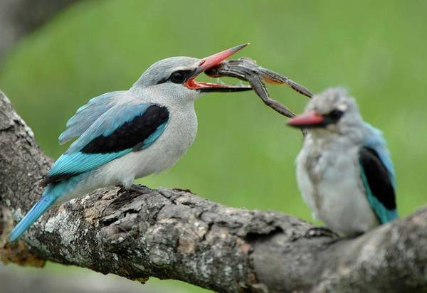 Kingfisher Photograph - Woodland Kingfisher by Dr P. Marazzi/science Photo Library