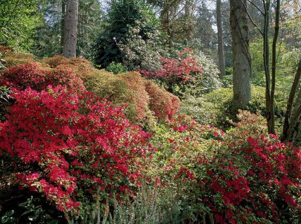 Rhododendrons Photograph - Woodland Shrub Garde by Geoff Kidd/science Photo Library