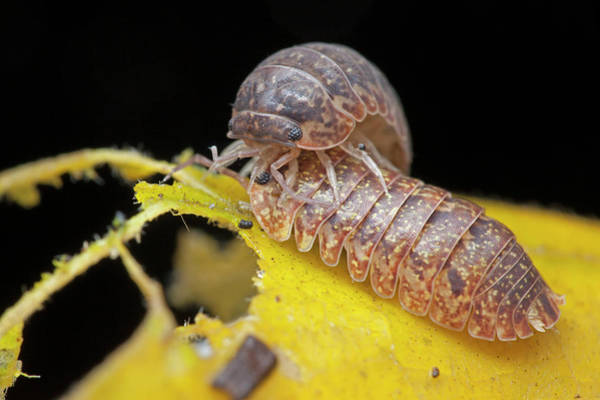 Mating Ritual Photograph - Woodlice Courtship by Melvyn Yeo/science Photo Library