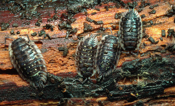 Scavengers Photograph - Woodlice by Nigel Downer