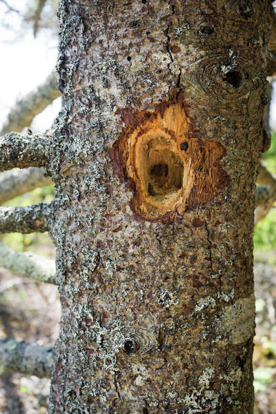 Wall Art - Photograph - Woodpecker Hole On A Pine Tree by Leslie Parrott