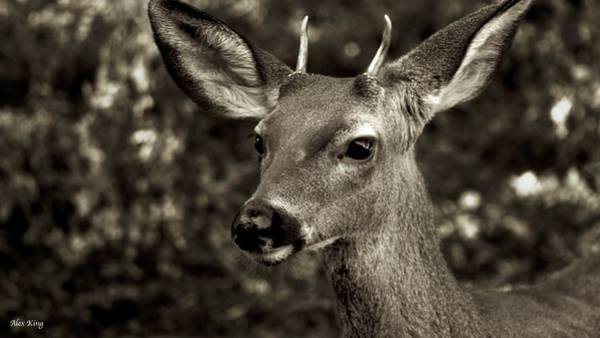 Woodside Photograph - Woodside Deer by Alex King