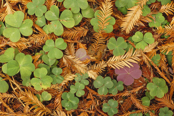 Photograph - Woodsorrel And Coast Redwood Leaf Litter by Gerry Ellis