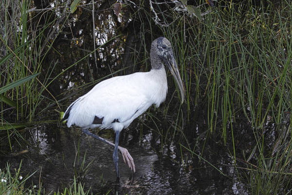 Photograph - Woodstork by Rudy Umans