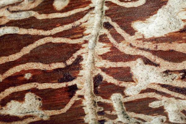 Bore Hole Wall Art - Photograph - Woodworm Damage by Mauro Fermariello/science Photo Library