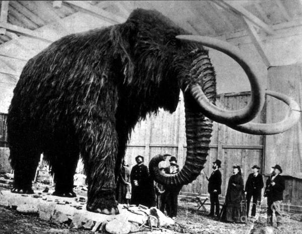 Photograph - Woolly Mammoth Found In Siberia, 1903 by Science Source