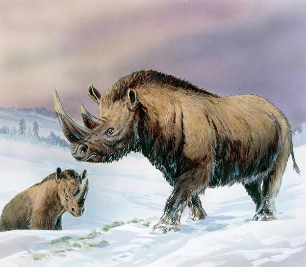 Wall Art - Photograph - Woolly Rhinoceros by Michael Long/science Photo Library