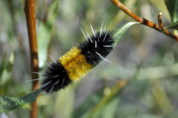 Photograph - Woolly Worm In Yellowstone National Park by Bruce Gourley