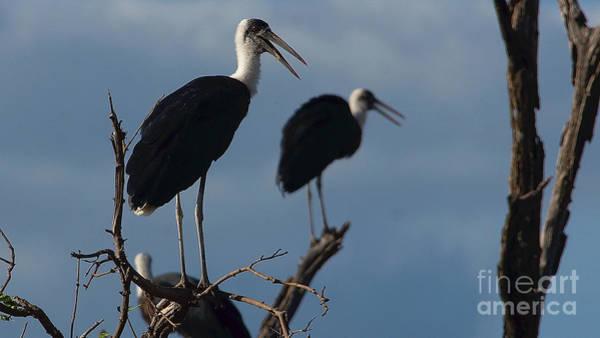 Photograph - Woollynecked Stork by Mareko Marciniak