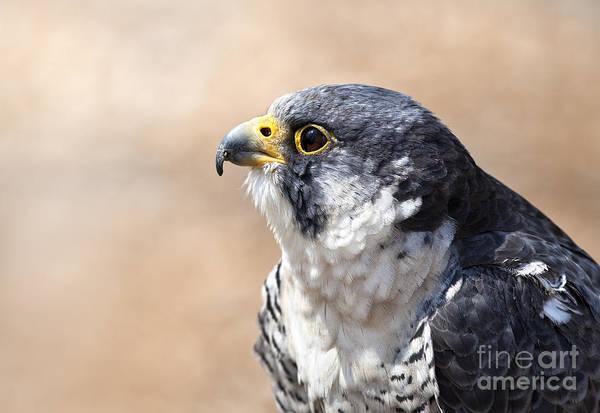 Peregrine Photograph - Word's Fastest Animal Peregrine Falcon by Brandon Alms