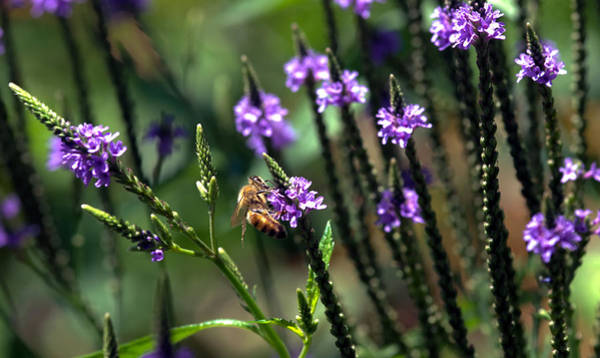 Lythrum Photograph - Worker Bee by Optical Playground By MP Ray
