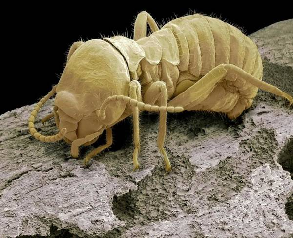 Wall Art - Photograph - Worker Termite by Steve Gschmeissner/science Photo Library