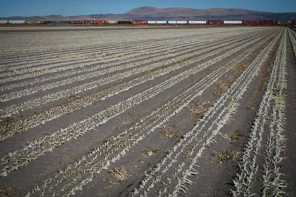 Row Crops Photograph - Workers Harvest Onions by David McLain