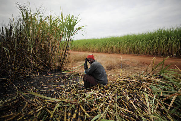 Photograph - Workers Harvest Sugar Cane by Dan Kitwood