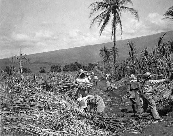 Wall Art - Photograph - Workers Harvesting Sugar Cane by Underwood Archives