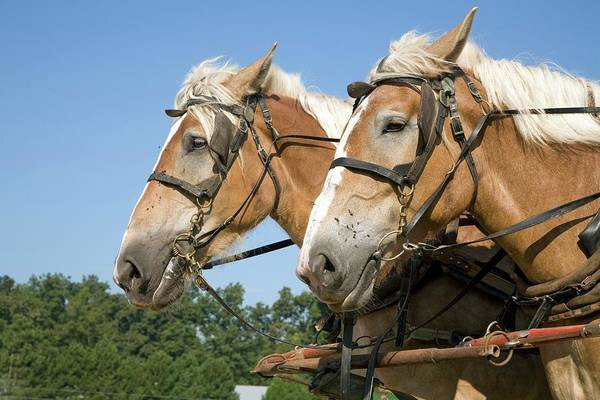 Amish Country Photograph - Working Farm Horses by Jim West