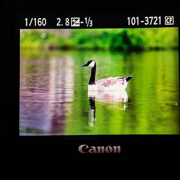 Wall Art - Photograph - Working On Scooter Lake #goose by Scott Pellegrin
