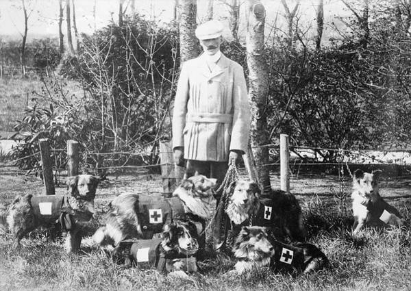 British Armed Forces Photograph - World War I British Red Cross Dogs by Library Of Congress