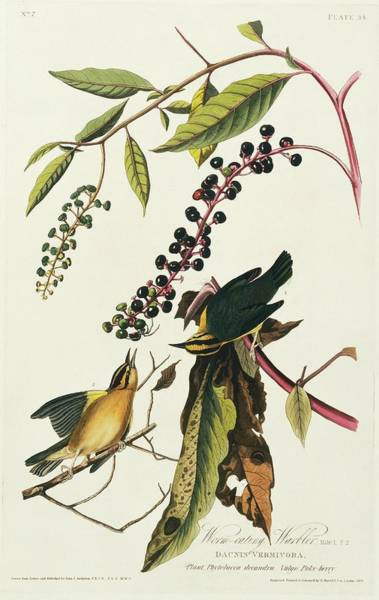 Aquatint Photograph - Worm-eating Warblers by Natural History Museum, London/science Photo Library