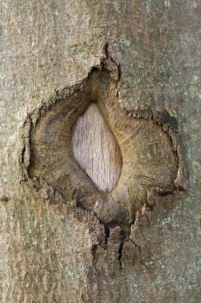 Knot Hole Photograph - Wound In A Beech Tree by Pascal Goetgheluck/science Photo Library